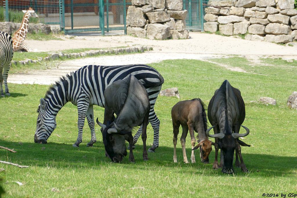 Rothschildgiraffe (Uganda-Giraffe, Baringo-Giraffe), Böhm-Steppenzebra (Grantzebra), Streifengnu, Jungtier geb. am 14.5.16
