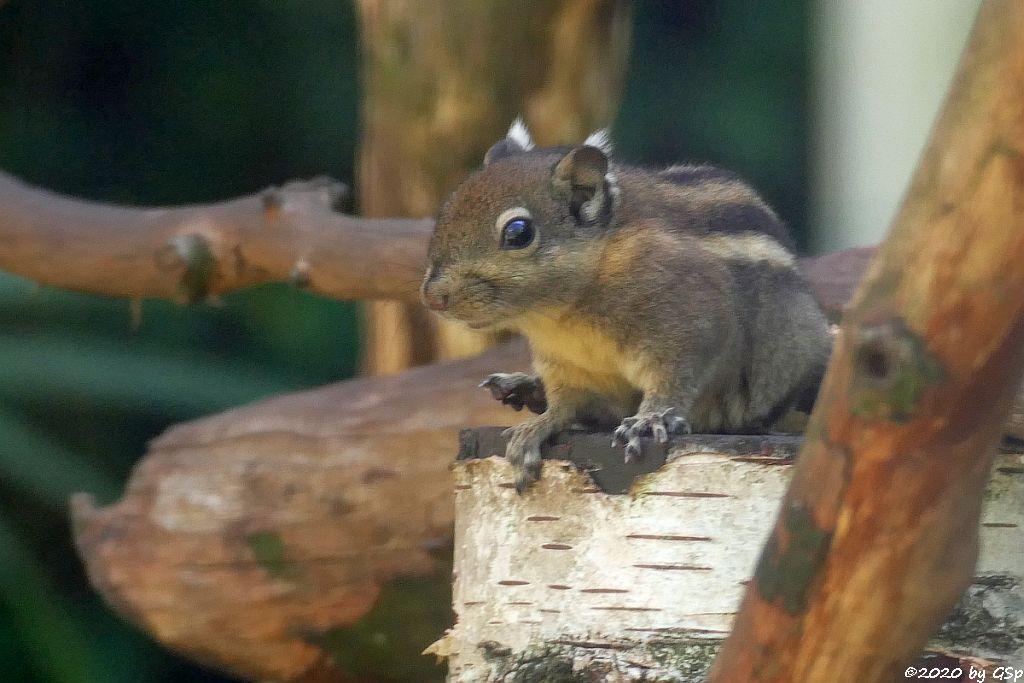 Swinhoe-Zwergstreifenhörnchen (Chines. Zwergstreifenhörnchen, Chines. Baumhörnchen)