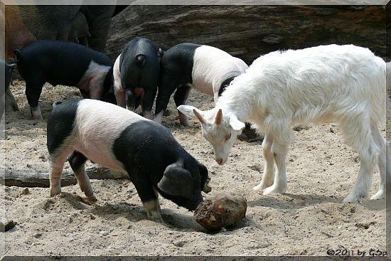 Angler-Sattelschwein und Girgentana-Ziege