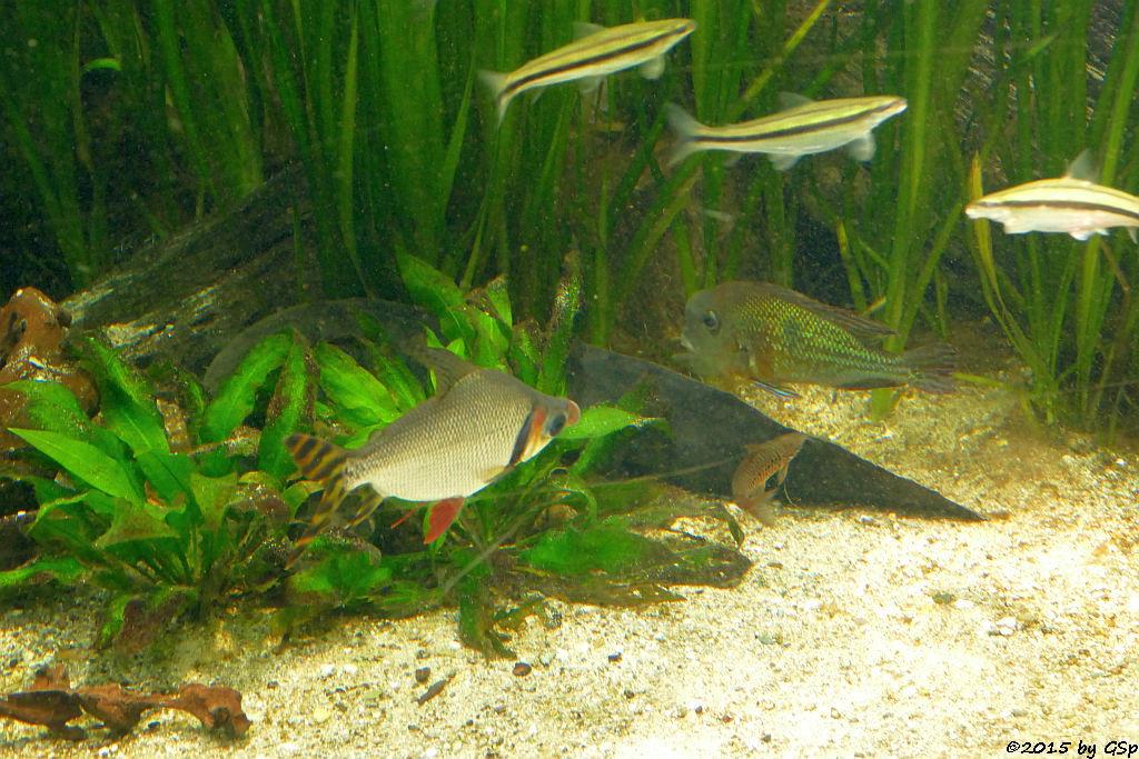 Südamerikanischer Lungenfisch