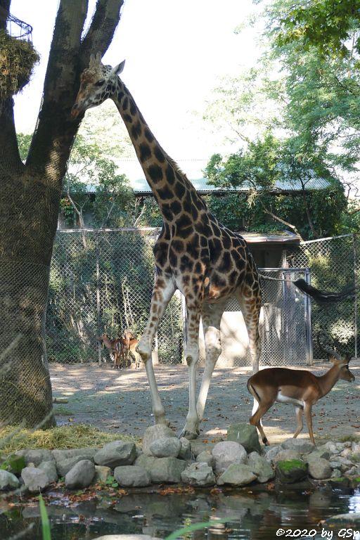 Impala (Schwarzfersenantilope), Rothschildgiraffe (Uganda-Giraffe, Baringo-Giraffe)