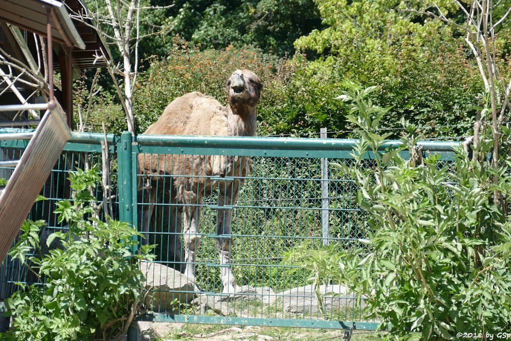Dromedar (Einhöckriges Kamel)