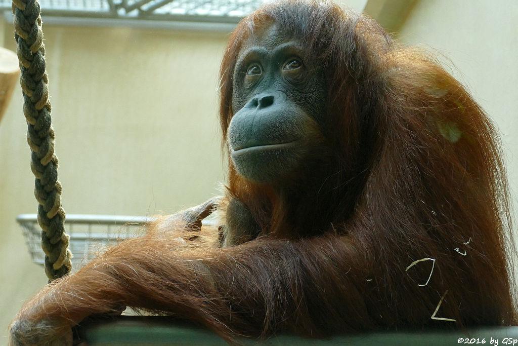 Sumatra-Orang-Utan SARI mit Tochter BERANI, geb. am 21.3.16