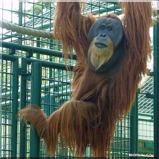 Sumatra-Orang-Utan TONI