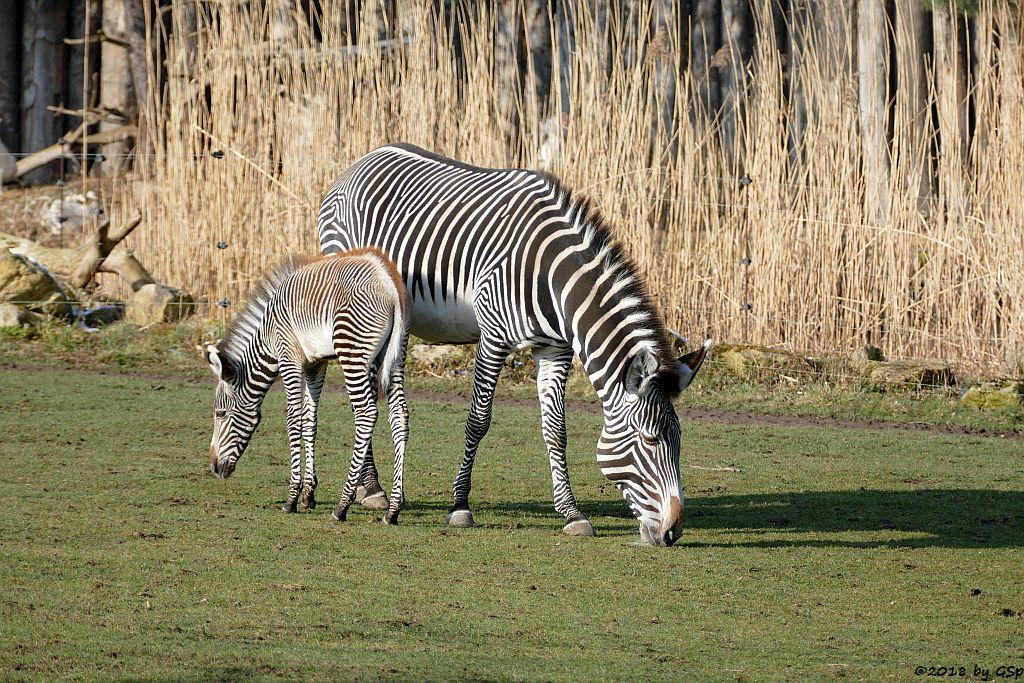 Afrianischer Marabu, Grévy-Zebra