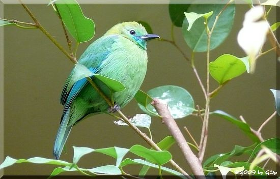 Blauflügel-Blattvogel