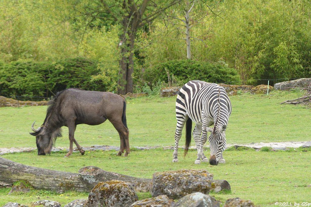 Südliches Streifengnu (Blaues Gnu), Böhm-Steppenzebra (Grant-Zebra)