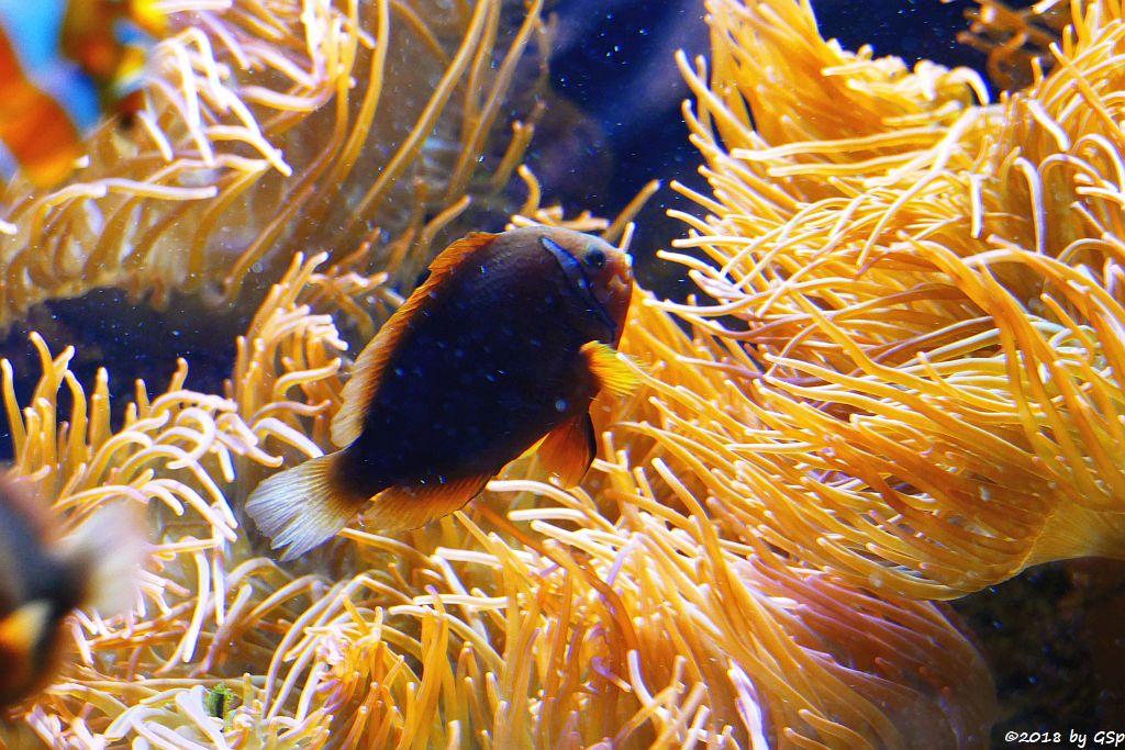 Schwarzflossen-Anemonenfisch (Schwarzroter Anemonenfisch)