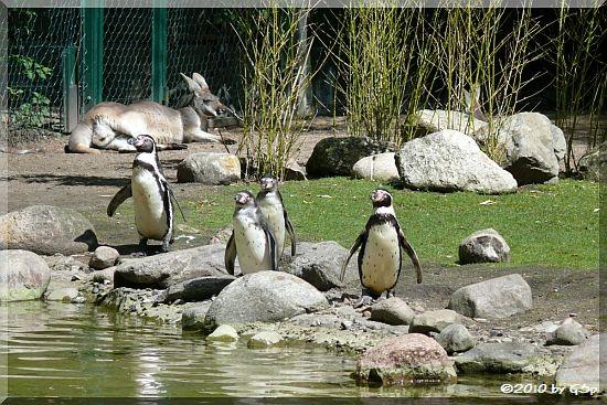 Humboldt-Pinguin und Rotes Riesenkänguru