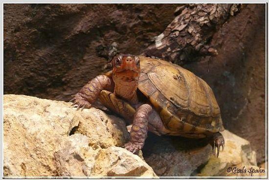 Mexikanische Dosenschildkröte