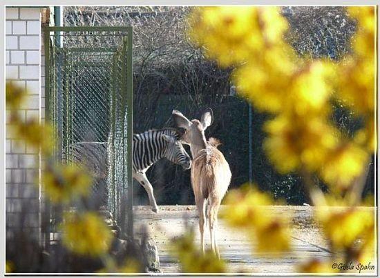 Damara-Zebra und Großer Kudu