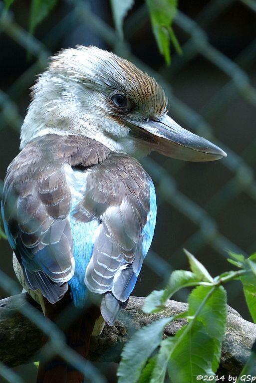 Haubenliest (Blauflügel-Kookaburra)