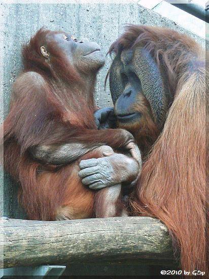 Sumatra-Orang-Utan MIRI und KEJAN