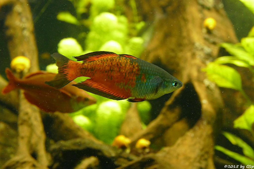 Parkinsons Regenbogenfisch