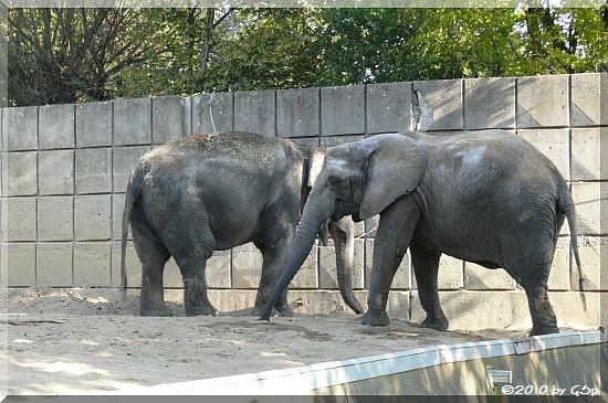 Asiatischer Elefant BIRMA und Afrikanischer Elefant MWANA