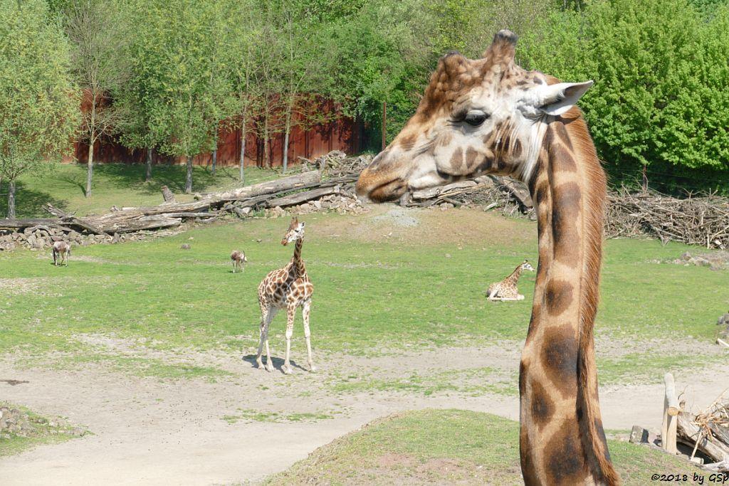Blessbock, Rothschildgiraffe (Uganda-Giraffe, Baringo-Giraffe)