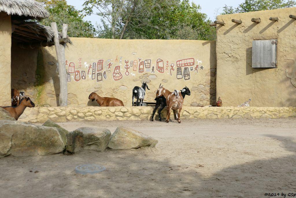 Afrikanische Zwergziege (Westafrikanische Zwergziege, Kamerun-Zwergziege)