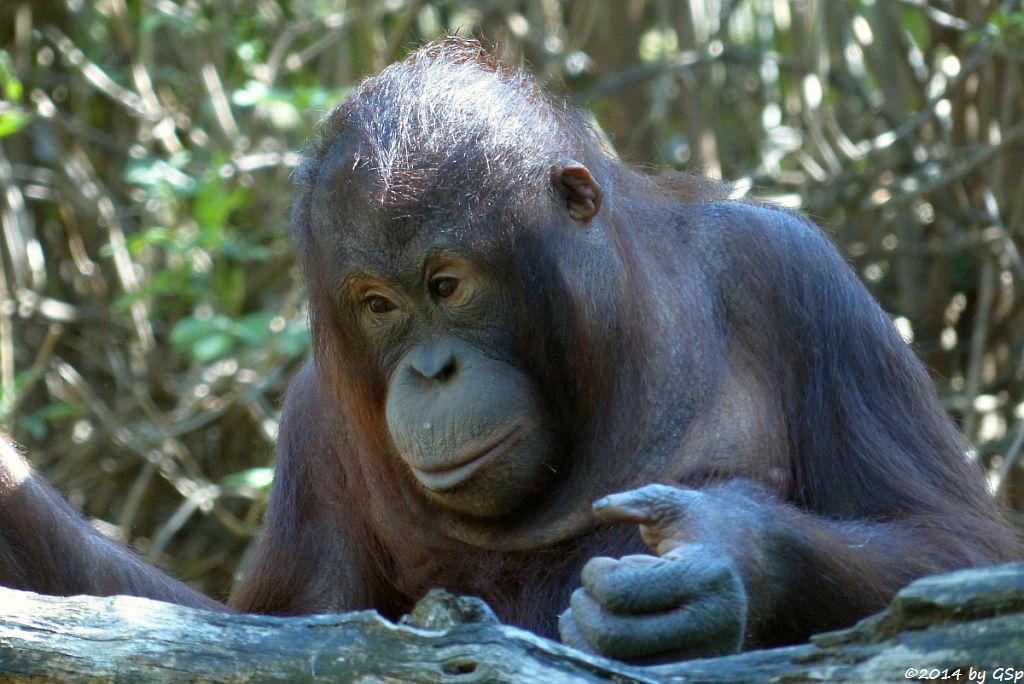 Borneo-Orang-Utan WOUSAN