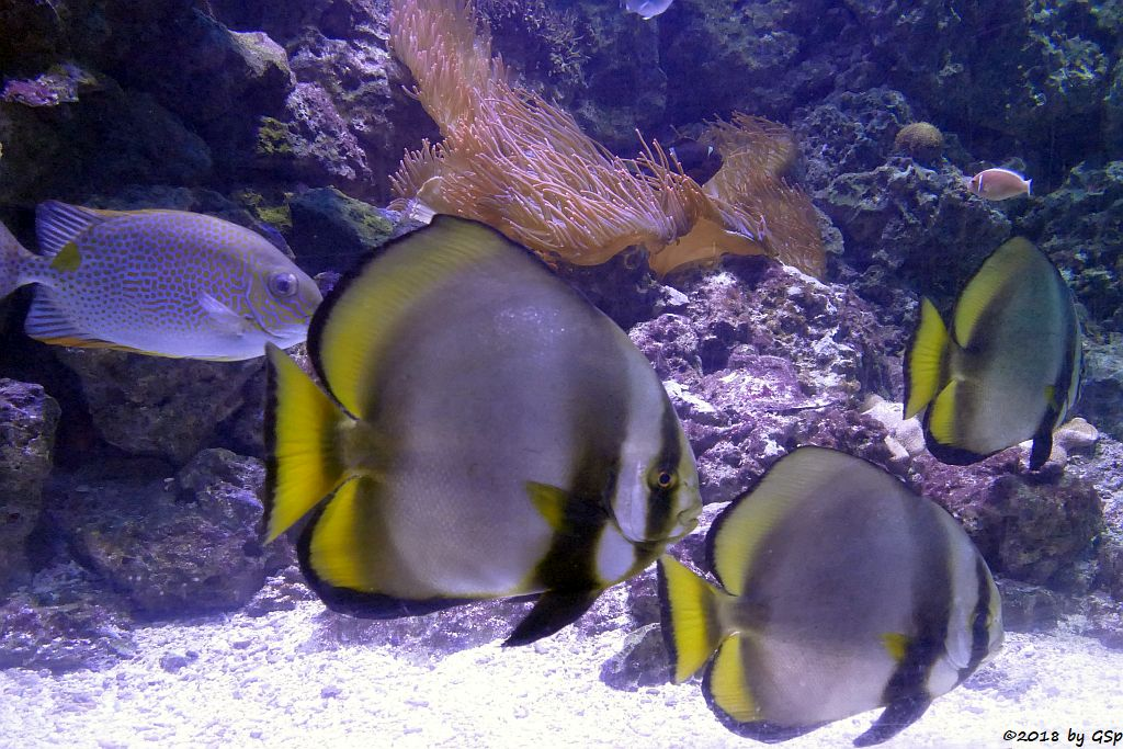 Goldfleck- (Gefleckter) Kaninchenfisch, Rundkopf-Fledermausfisch (Gelbflossen-Fledermausfisch, Gewöhnlicher Fledermausfisch)