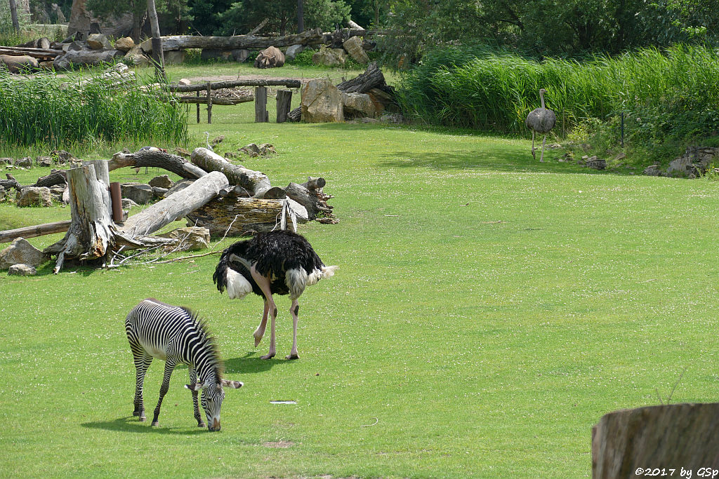 Grévy-Zebra, Nordafrikanischer Strauß (Nordafrikanischer Rothalsstrauß), Spitzmaulnashorn (Spitzlippennashorn, Doppelnashorn)