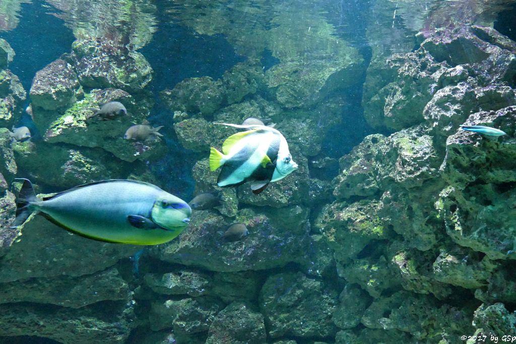 Masken-Nasendoktorfisch (Vlamings Doktorfisch), Spitzschnauziger (Gemeiner) Wimpelfisch (Geißler)