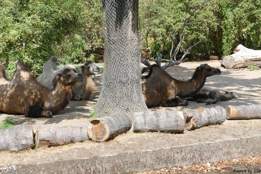 Trampeltier (Zweihöckriges Kamel), Jungtier geb. am 10.4.18 (18 Wo)