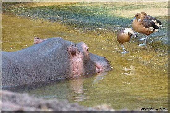 Flusspferd und Gelbbrustpfeifgans