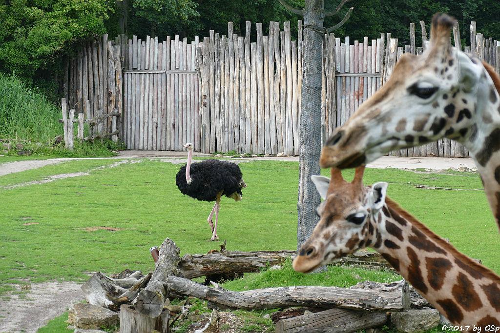 Nordafrikanischer Strauß (Nordafrikanischer Rothalsstrauß), Rothschildgiraffe (Uganda-Giraffe, Baringo-Giraffe