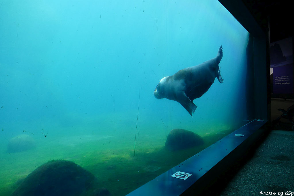 Pazifisches WalrossPazifisches Walross