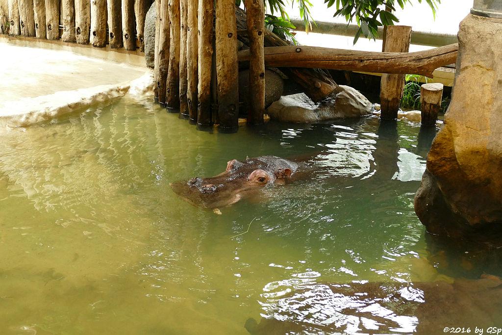 Flusspferd KATHY