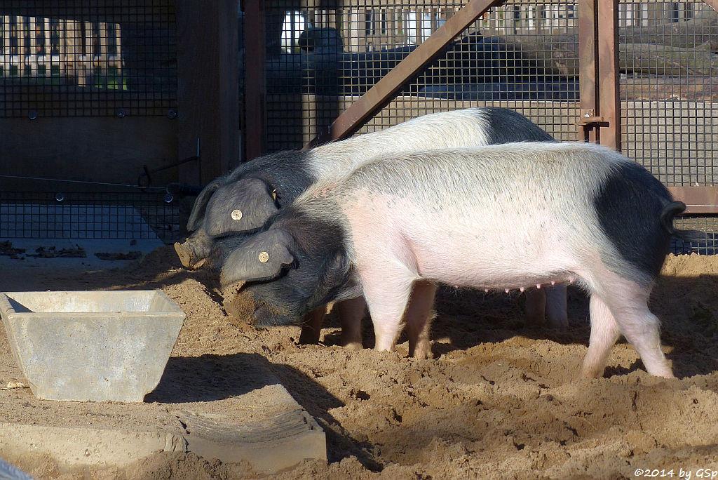 Schwäbisch-Hällisches Schwein