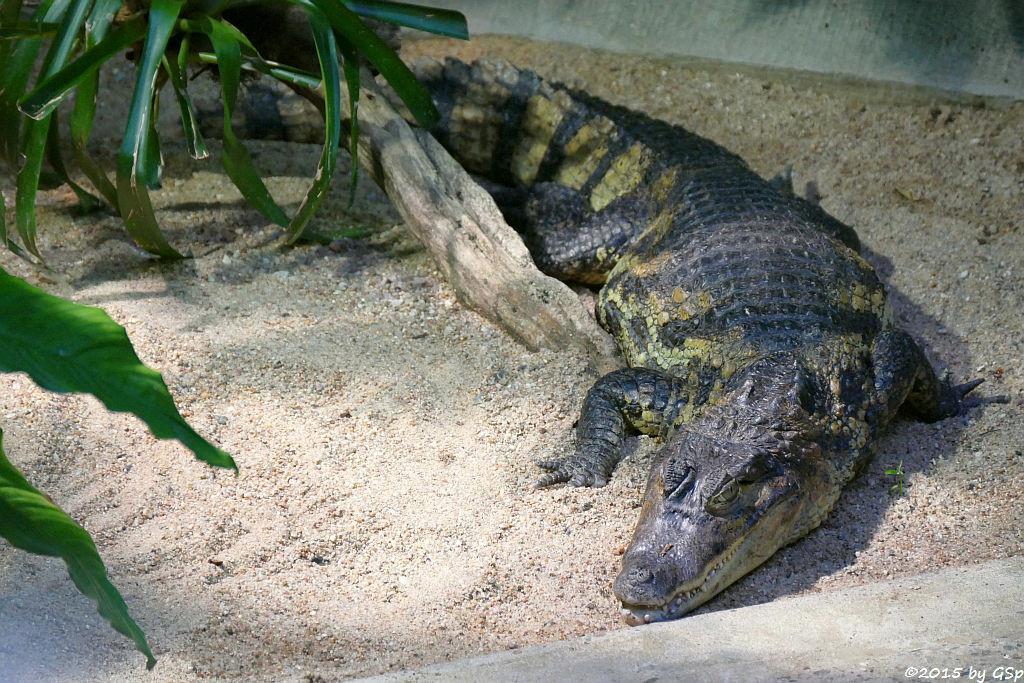 Krokodilkaiman