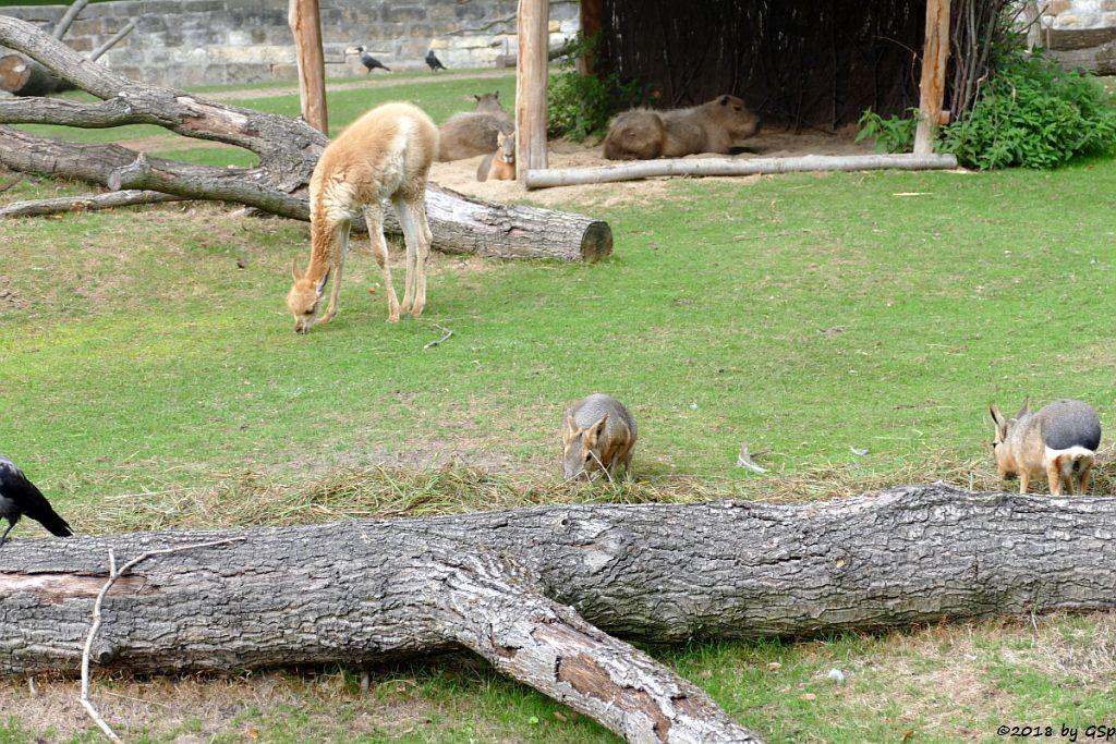 Vikunja, Wasserschwein (Capybara), Großer Pampashase (Große Mara, Großer Mara)