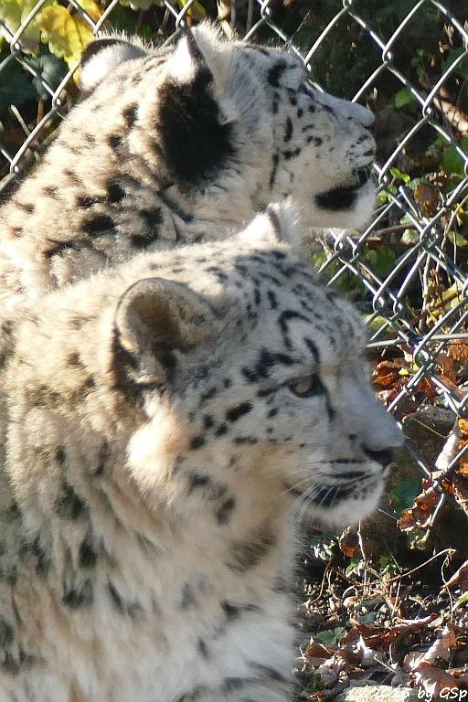 Schneeleopard-Jungtiere, geb. am 10.5.15