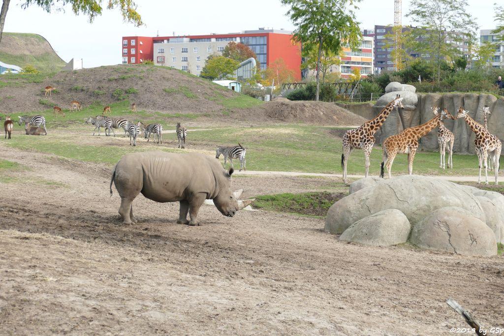 Südliches Breitmaulnashorn, Defassa-Wasserbock (Roter Wasserbock), Gewöhnliche Impala (Schwarzfersenantilope), Böhm-Steppenzebra (Granz-Zebra), Rothschildgiraffe (Uganda-Giraffe, Baringo-Giraffe)
