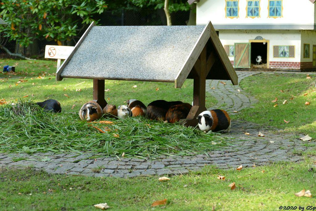 Hausmeerschweinchen