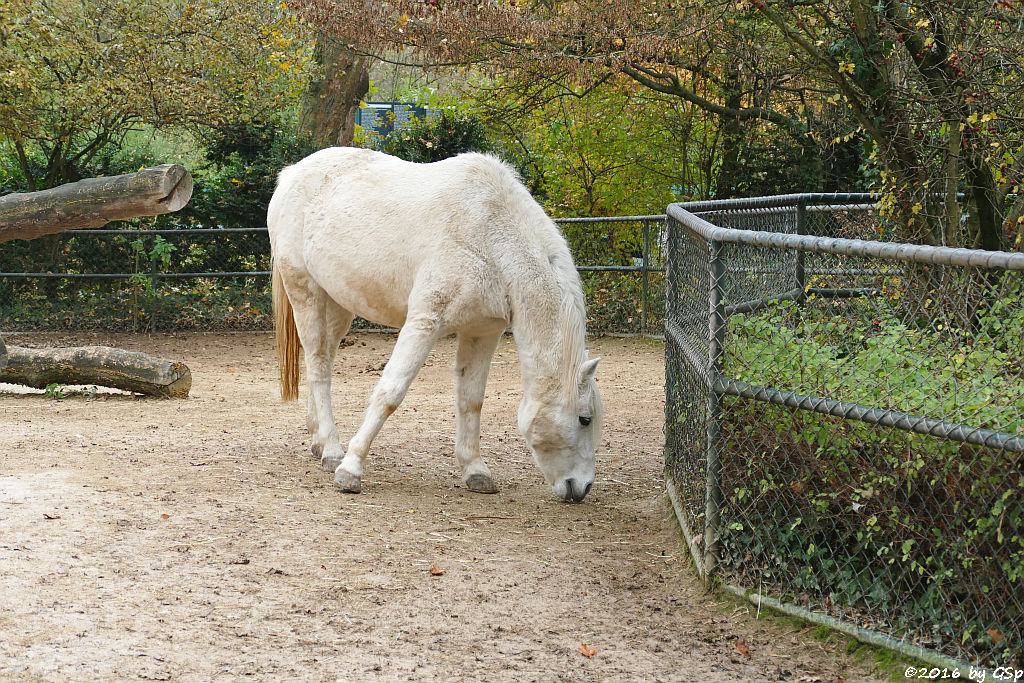 Welsh-Pony