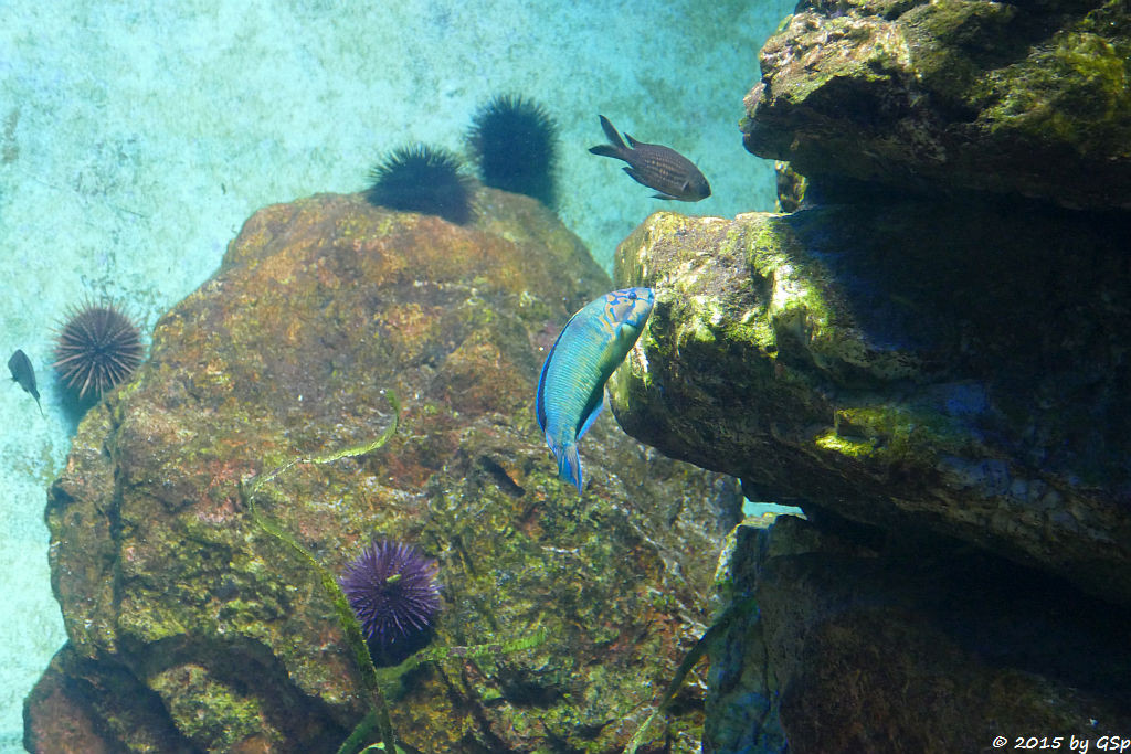 Violetter Seeigel, Mönchsfisch,