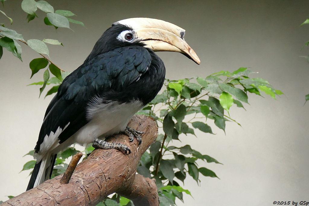 Orient-Hornvogel