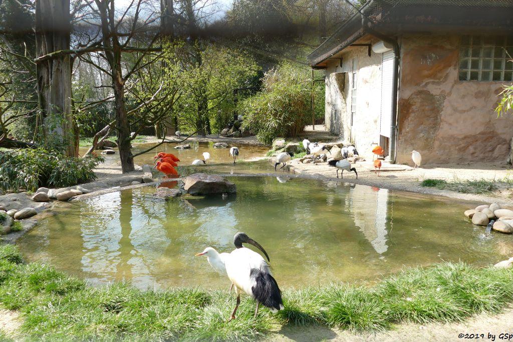 Heiliger Ibis, Kuhreiher, Roter Sichler (Scharlachibis, Rotibis)