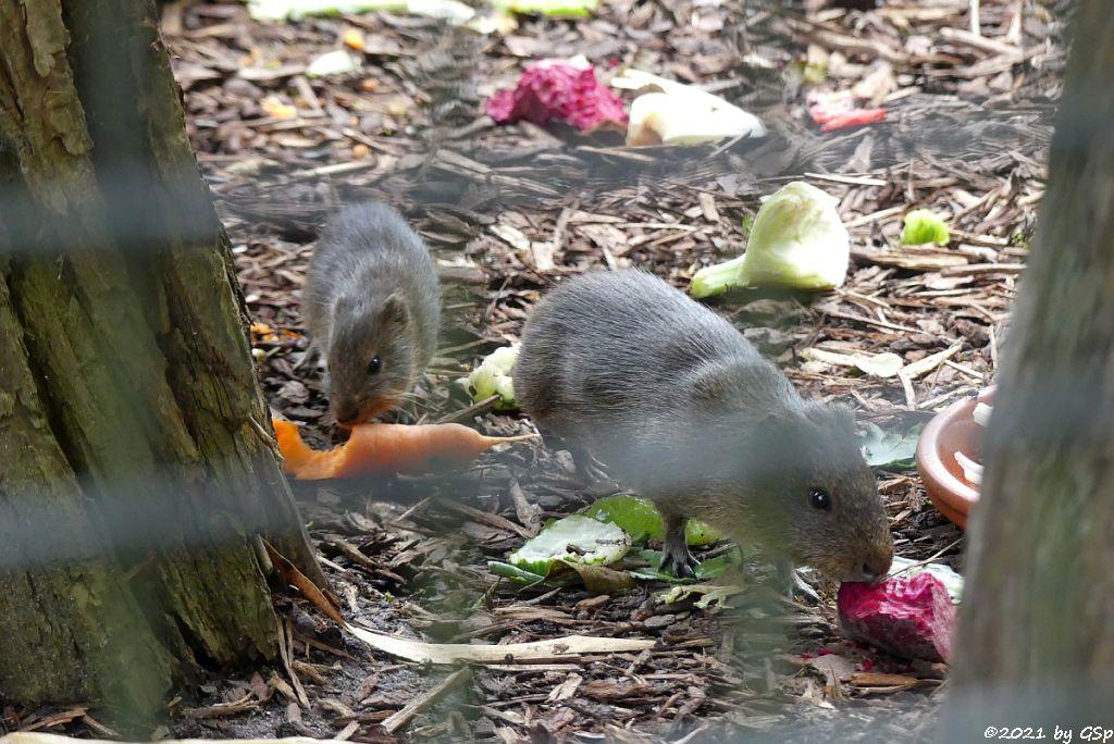Sumpfmeerschweinchen (Riesenmeerschweinchen, Großes Wildmeerschweinchen)
