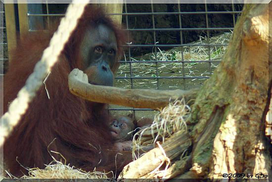 Sumatra-Orang-Utan ROSA mit PANDAI - 77 Fotos