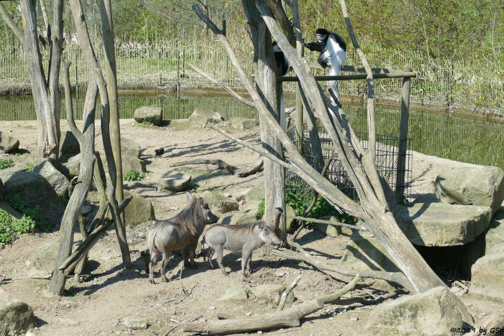Westafrikanisches Warzenschwein, Kikuyu-Guereza