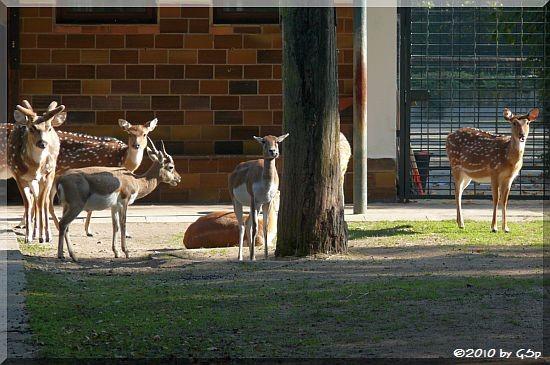 Hirschziegenantilope, Axishirsch