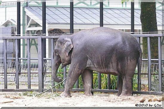Asiatischer Elefant YINDEE