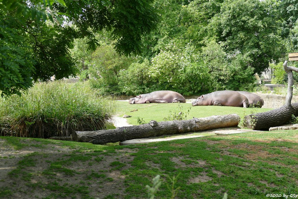 Flusspferd (Großflusspferd, Nilpferd, Hippopotamus)