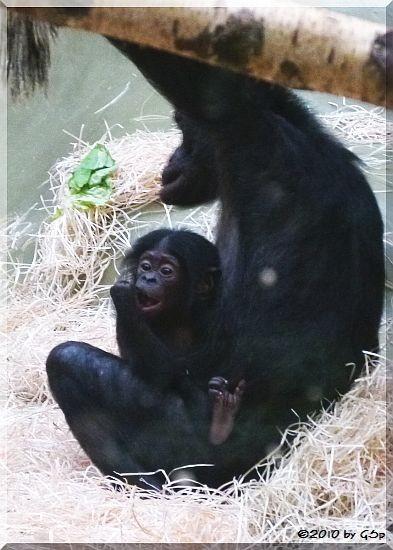 Bonobo, Jungtier geb. am 15.6.10