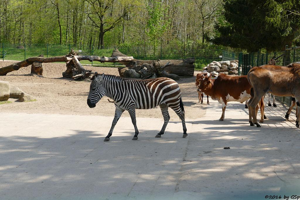 Böhm-Zebra, Zwerg-Zebu, Elen-Antilope