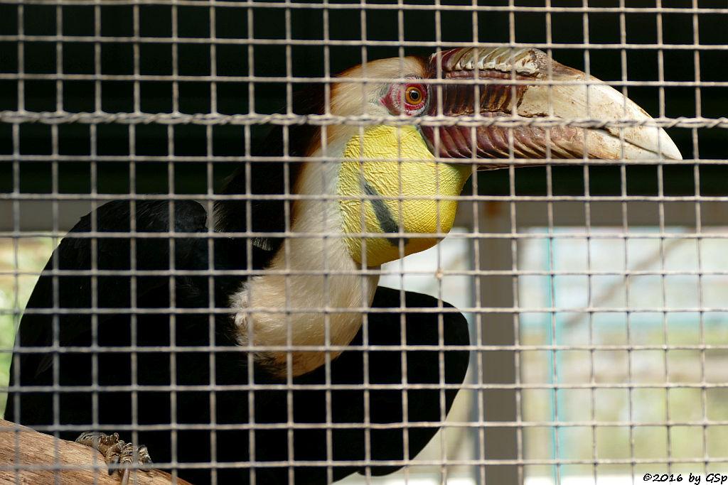 Furchenhornvogel (Jahrvogel)