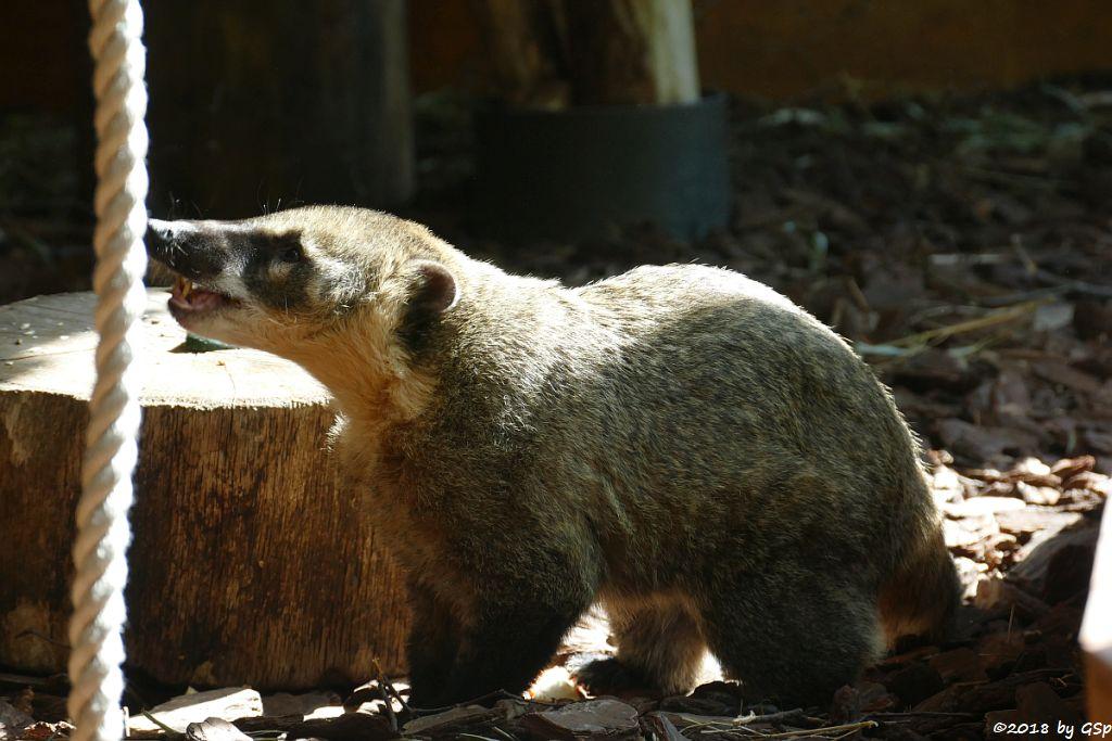 Roter Nasenbär (Gewöhnlicher Nasenbär, Südamerik. Nasenbär)